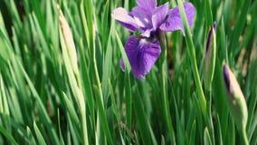Όμορφη ιώδης πορφυρή ιώδης ίριδων άνθισης ανθών τρυφερή ανάπτυξη εγκαταστάσεων φύσης λουλουδιών λεπτή στη χλόη 4k κοντά επάνω απόθεμα βίντεο