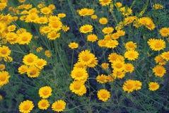Όμορφη κίτρινη άγρια chamomile κινηματογράφηση σε πρώτο πλάνο μαργαριτών λουλουδιών στο ξέφωτο στους τομείς στοκ εικόνες