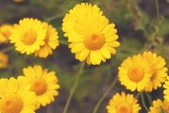 Όμορφη κίτρινη άγρια chamomile κινηματογράφηση σε πρώτο πλάνο μαργαριτών λουλουδιών στο ξέφωτο στους τομείς στοκ εικόνα με δικαίωμα ελεύθερης χρήσης