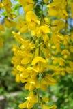 Όμορφη κίτρινη ακακία λουλουδιών Στοκ εικόνα με δικαίωμα ελεύθερης χρήσης