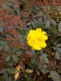 Όμορφη κίτρινη εικόνα λουλουδιών, awosome Στοκ φωτογραφία με δικαίωμα ελεύθερης χρήσης