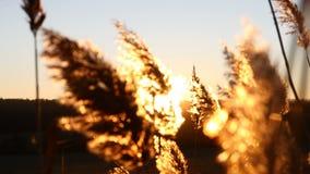 Όμορφη κίτρινη χλόη στον απέραντο πυκνό τομέα καλλιεργήσιμου εδάφους στο χρυσό ελαφρύ ηλιοβασίλεμα 4K απόθεμα βίντεο