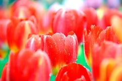 Όμορφη και κομψή κόκκινη τουλίπα μετά από τη βροχή στοκ φωτογραφία