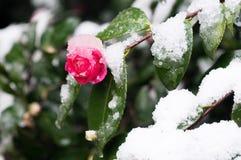 Όμορφη καμέλια στο χιόνι Στοκ Εικόνες