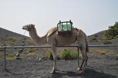 Όμορφη καμήλα στην είσοδο στο ηφαίστειο του San Antonio στο νησί του Λα Palma στα Κανάρια νησιά Ταξίδι, φύση, στοκ εικόνα