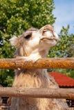 Όμορφη καμήλα στο ζωολογικό κήπο Στοκ Εικόνες
