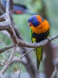 Όμορφη καρύδα Lorikeet παπαγάλων Στοκ Φωτογραφία