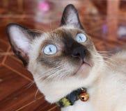 Όμορφη καφετιά γάτα Στοκ Εικόνες