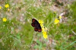 Όμορφη καφετιά μαύρη πορτοκαλιά πεταλούδα στο λουλούδι Στοκ εικόνα με δικαίωμα ελεύθερης χρήσης