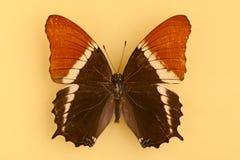 όμορφη καφετιά πεταλούδα στοκ φωτογραφία με δικαίωμα ελεύθερης χρήσης