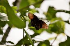 Όμορφη καφετιά πεταλούδα στο φύλλο Στοκ εικόνα με δικαίωμα ελεύθερης χρήσης
