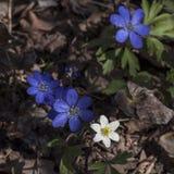 Όμορφη κινηματογράφηση σε πρώτο πλάνο των liverworts και του ξύλινου anemone στον ήλιο την ηλιόλουστη ημέρα της άνοιξη Στοκ Εικόνα