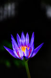 Όμορφη κινηματογράφηση σε πρώτο πλάνο ενός λουλουδιού ή Waterlilly Lotus Στοκ Εικόνα