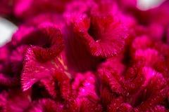 Όμορφη κινηματογράφηση σε πρώτο πλάνο λουλουδιών cristata Cockscomb Celosia Στοκ Εικόνα