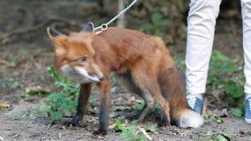 Όμορφη κόκκινη αλεπού που περπατά υπαίθρια φιλμ μικρού μήκους
