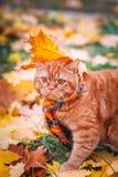 Όμορφη κόκκινη βρετανική γάτα με τα κίτρινα μάτια ν ένα μπλε μαντίλι υπαίθριο Γάτα φθινοπώρου στα κίτρινα φύλλα Στοκ Φωτογραφίες