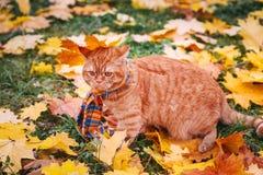 Όμορφη κόκκινη βρετανική γάτα με τα κίτρινα μάτια ν ένα μπλε μαντίλι υπαίθριο Γάτα φθινοπώρου στα κίτρινα φύλλα Στοκ εικόνα με δικαίωμα ελεύθερης χρήσης
