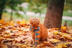 Όμορφη κόκκινη βρετανική γάτα με τα κίτρινα μάτια ν ένα μπλε μαντίλι υπαίθριο Γάτα φθινοπώρου στα κίτρινα φύλλα Στοκ Εικόνες