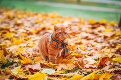 Όμορφη κόκκινη βρετανική γάτα με τα κίτρινα μάτια ν ένα μπλε μαντίλι υπαίθριο Γάτα φθινοπώρου στα κίτρινα φύλλα Στοκ φωτογραφία με δικαίωμα ελεύθερης χρήσης