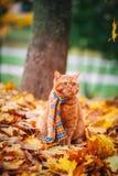 Όμορφη κόκκινη βρετανική γάτα με τα κίτρινα μάτια ν ένα μπλε μαντίλι υπαίθριο Γάτα φθινοπώρου στα κίτρινα φύλλα Στοκ εικόνες με δικαίωμα ελεύθερης χρήσης