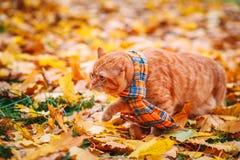 Όμορφη κόκκινη βρετανική γάτα με τα κίτρινα μάτια ν ένα μπλε μαντίλι υπαίθριο Γάτα φθινοπώρου στα κίτρινα φύλλα Στοκ φωτογραφίες με δικαίωμα ελεύθερης χρήσης