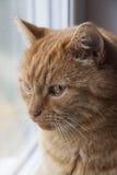 Όμορφη κόκκινη κινηματογράφηση σε πρώτο πλάνο γατών Στοκ φωτογραφία με δικαίωμα ελεύθερης χρήσης