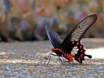 Όμορφη κόκκινη μαύρη πεταλούδα Swallowtail Στοκ Φωτογραφίες