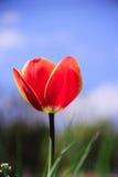 όμορφη κόκκινη τουλίπα Στοκ Φωτογραφία