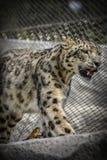 Όμορφη λεοπάρδαλη χιονιού στοκ φωτογραφία