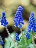 Όμορφη λεπτομέρεια muscari στοκ εικόνα