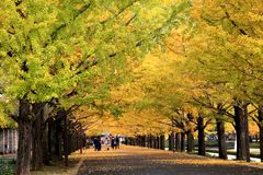 Όμορφη λεωφόρος Ginkgo στο Τόκιο στοκ φωτογραφίες με δικαίωμα ελεύθερης χρήσης