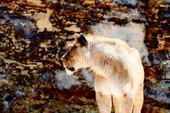 Όμορφη λιονταρίνα που στηρίζεται στην ηλιοφάνεια η ανασκόπηση διασταυρώνει τη δύσκολη δομή πετρών βράχου Στοκ Εικόνες