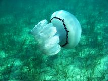 Όμορφη μέδουσα κάτω από το νερό στη θάλασσα στην Ελλάδα στοκ φωτογραφίες με δικαίωμα ελεύθερης χρήσης