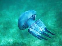 Όμορφη μέδουσα σε ολόκληρο το μέγεθος κάτω από το μπλε νερό στη θάλασσα στην Ελλάδα στοκ φωτογραφία