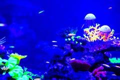 Όμορφη μέδουσα, medusa στο φως νέου με τα ψάρια Ενυδρείο με την μπλε μέδουσα και τα μέρη των ψαριών r στοκ εικόνες