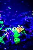 Όμορφη μέδουσα, medusa στο φως νέου με τα ψάρια Ενυδρείο με την μπλε μέδουσα και τα μέρη των ψαριών r στοκ φωτογραφίες με δικαίωμα ελεύθερης χρήσης