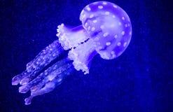 Όμορφη μέδουσα, medusa στο φως νέου με τα ψάρια Υποβρύχια ζωή στην ωκεάνια μέδουσα συναρπαστική και κοσμική θέα στοκ φωτογραφία με δικαίωμα ελεύθερης χρήσης