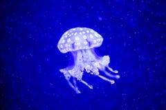 Όμορφη μέδουσα, medusa στο φως νέου με τα ψάρια Υποβρύχια ζωή στην ωκεάνια μέδουσα συναρπαστική και κοσμική θέα στοκ φωτογραφία