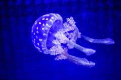 Όμορφη μέδουσα, medusa στο φως νέου με τα ψάρια Υποβρύχια ζωή στην ωκεάνια μέδουσα συναρπαστική και κοσμική θέα στοκ εικόνα με δικαίωμα ελεύθερης χρήσης