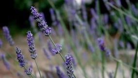 Όμορφη μέλισσα που πετά γύρω από lavender τα λουλούδια απόθεμα βίντεο