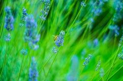 Όμορφη μέλισσα σε ένα lavender λουλούδι στοκ εικόνες με δικαίωμα ελεύθερης χρήσης