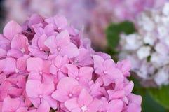 όμορφη μακροεντολή hydrangea ανθών Στοκ Εικόνες