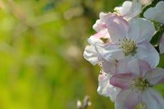 όμορφη μακροεντολή εστίασης λουλουδιών πεδίων ανθών ανασκόπησης μήλων bokeh βαθιά ρηχή Στοκ εικόνες με δικαίωμα ελεύθερης χρήσης