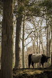 Όμορφη μακρυμάλλης αγελάδα που περπατά μέσω του Μαύρου ξύλων με το άσπρο λωρίδα Στοκ Εικόνα