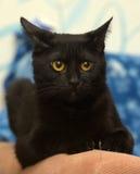 Όμορφη μαύρη γάτα με τα ηλέκτρινα μάτια Στοκ εικόνα με δικαίωμα ελεύθερης χρήσης