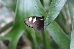 Όμορφη μαύρη πεταλούδα σε ένα φύλλο Στοκ Φωτογραφία