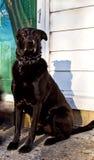 Όμορφη μαύρη τοποθέτηση σκυλιών ποιμένων Στοκ Εικόνες