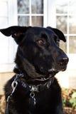 Όμορφη μαύρη τοποθέτηση σκυλιών ποιμένων Στοκ Εικόνα