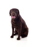 Όμορφη μαύρη φυλή σκυλιών του Λαμπραντόρ Στοκ Εικόνα
