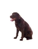 Όμορφη μαύρη φυλή σκυλιών του Λαμπραντόρ Στοκ εικόνα με δικαίωμα ελεύθερης χρήσης